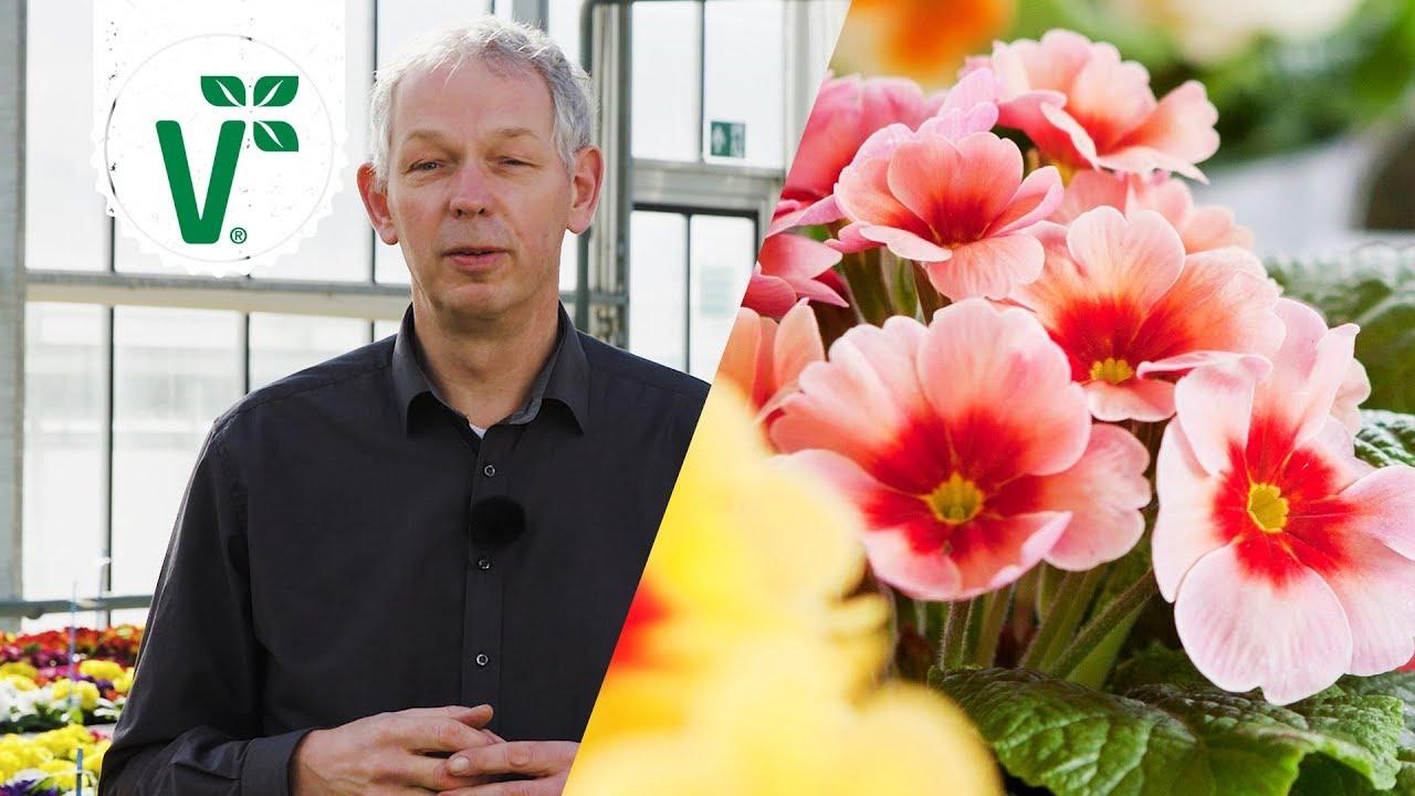 Welche Blumen kann man im Frhjahr in den Garten pflanzen Frhjahrsblher  Volkers