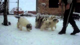 Mioritic Ovcharka Puppies  - Livestock Guardian Dogs