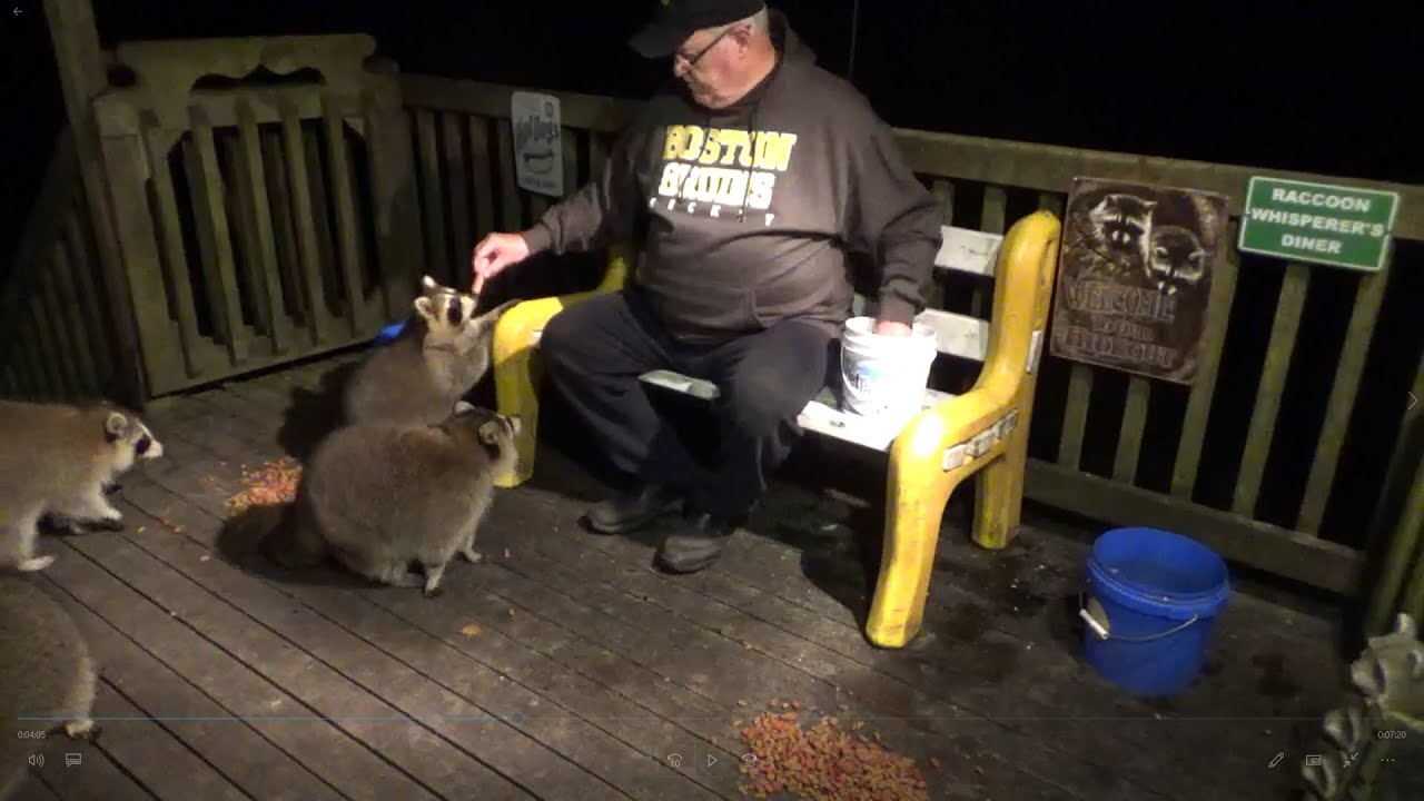 Download Raccoon Feeding and Escaped Connor
