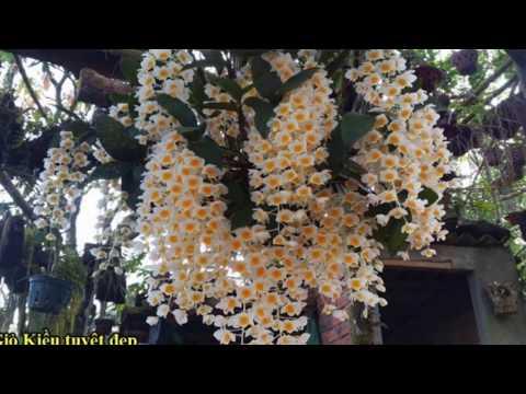 Thủy Tiên Vuông - Hàng Rừng đặc trưng - dễ dàng có hoa ngày tết [ Mai Huy ]
