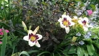 Любимая коллекция лилейников
