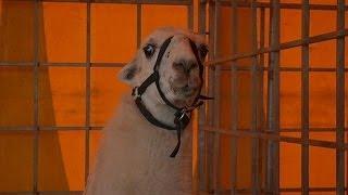 Serge, le lama bordelais qui a pris le tramway - 01/11