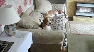 Daisy Beagle Quiet