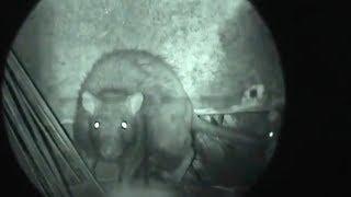 Video berburu tikus - night ratting - marauder wolverin download MP3, 3GP, MP4, WEBM, AVI, FLV Juli 2018