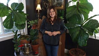 Fiddle Leaf Fig Care Guide! 🌿 // Garden Answer