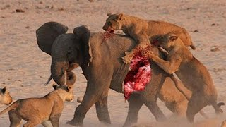 実生活で驚くべき動物の攻撃 ライオンキルトゥーデスヒッポ、ライオンvs...