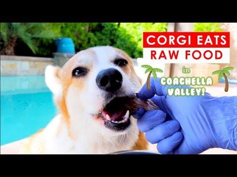 WHAT FEEDING RAW TO MY CORGI DOG LOOKS LIKE - In the DESERT!!!