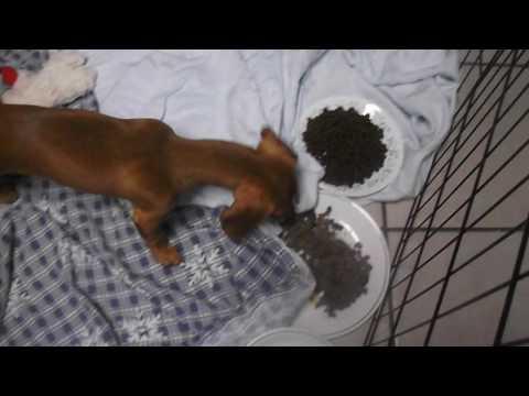 funny-dachshund-burying-food!