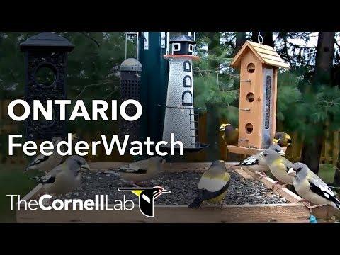 Cornell Lab | Ontario FeederWatch Cam, Sponsored by Perky-Pet®