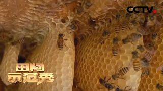 《田间示范秀》蜂群飞逃令人不解 养蜂高手深入现场拨开层层迷雾 20200724   CCTV农业 - YouTube