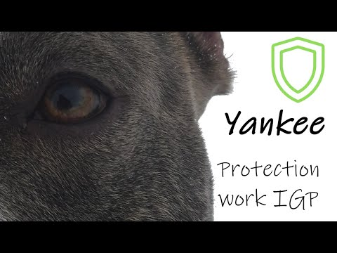 Super American Staffordshire Terrier - IGP Protection training - #amstaffyankee