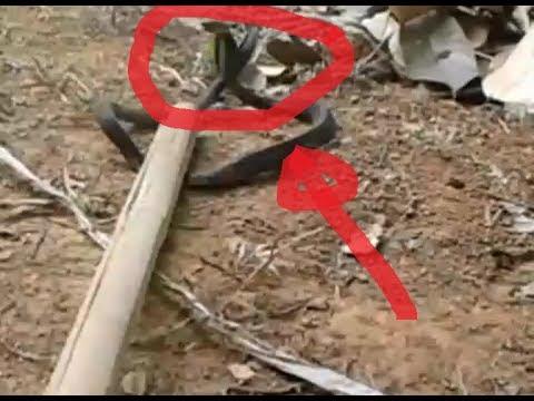 Ular Kobra Gila Gigit Ekor Sendiri, Berakhir Tragis