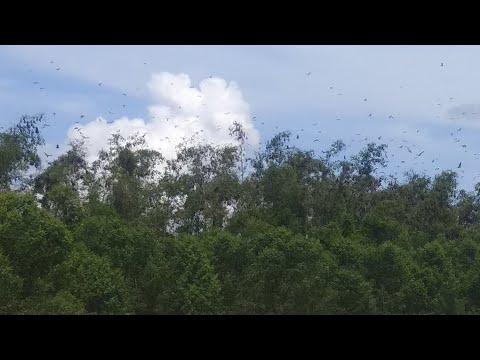 Berburu Kalong Terbanyak di Dunia Part I