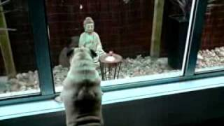 Pug Barking At Statue