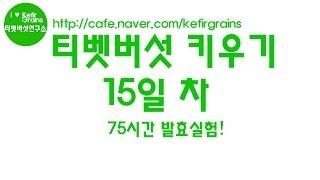 티벳버섯 키우기 15일차 - 72시간 발효 후의 모습!