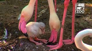 Flamingo Chicks are Hatching - Cincinnati Zoo