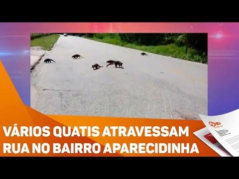 Vários quatis atravessam rua no bairro Aparecidinha - TV SOROCABA/SBT