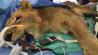 Amazing stories The Big Cat Dr Justin Boorstein  Performs Life Saving Surgery Wildest Animal Rescues