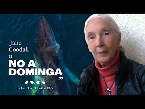 "Jane Goodall Dice ""NO A DOMINGA"""