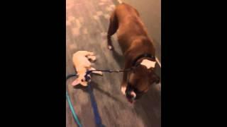 French Bulldog Vs. Boxer