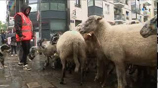 Lille : une transhumance urbaine organisée avec une centaine de moutons et de chèvres