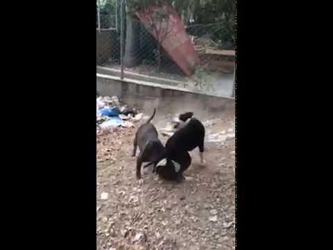amstaff vs pitbull fight