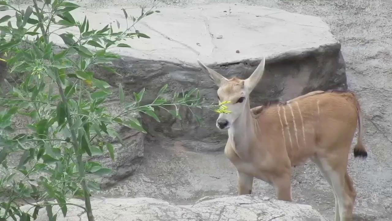 Nueva cría de %AntilopeEland Zoo Aragón (13/03/2020)