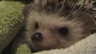 En Pinxu es dutxa. Erizo en la ducha. Hedgehog