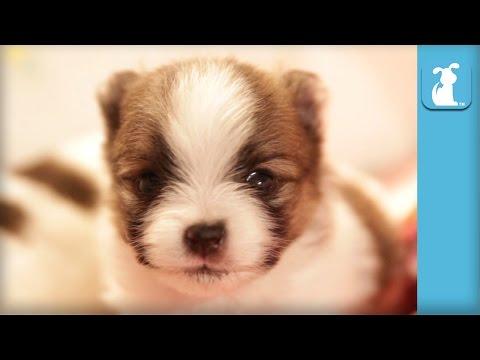 2 Week Old Pomeranian Puppy Talks Back - Puppy Love