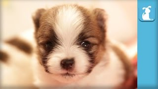 2 Week Old Pomeranian Puppy Talks Back - Puppy Love