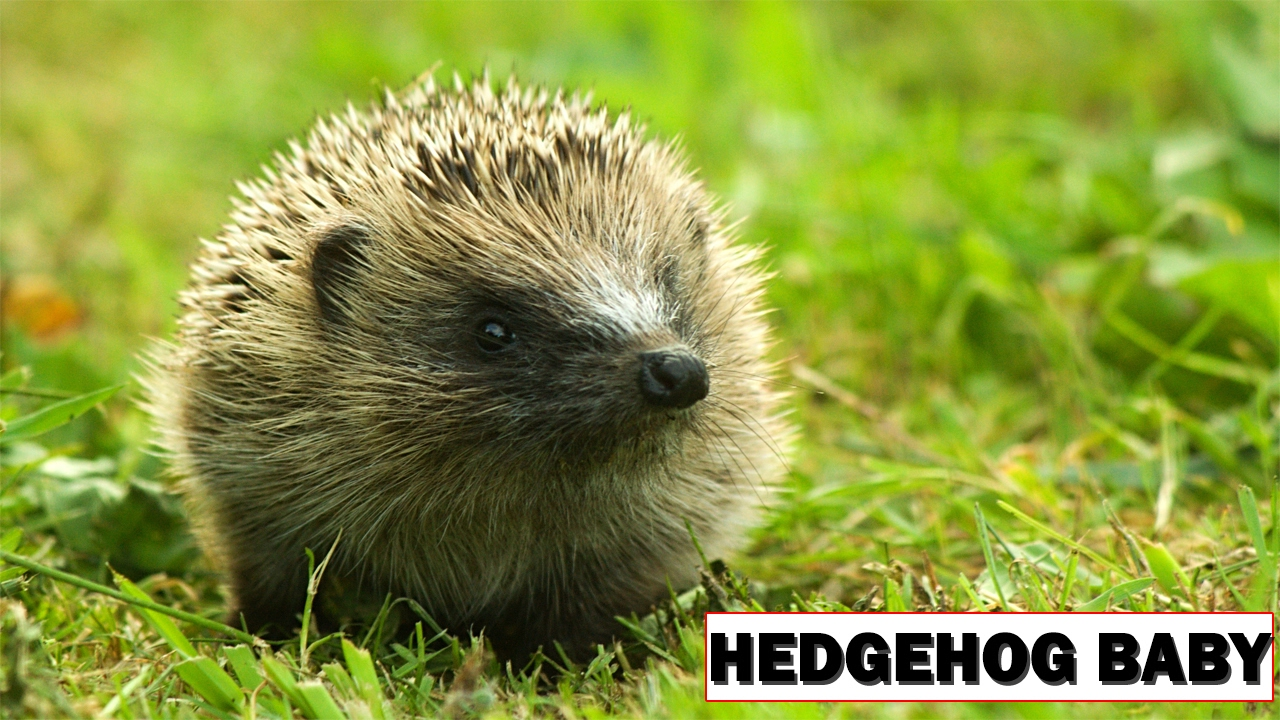 Hedgehog Baby Playing Hedgehog Facts For Kids Hedgehog Facts Facts ...