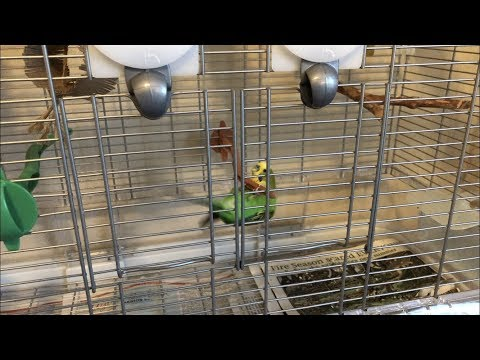 """Smart parakeet plays music on the Echo Dot by saying """"Alexa, play"""""""