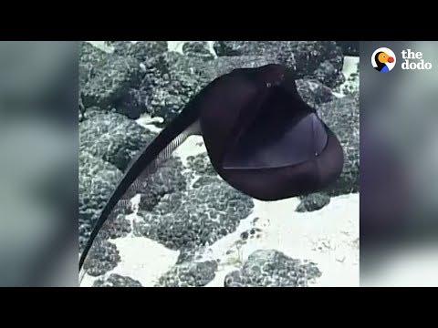 Rarely Seen Sea Creature Puffs Up Like A Big Balloon   The Dodo