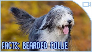 Facts About Bearded Collies!
