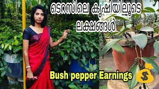 How to earn money by easy way of planting Bush pepper in terrace 🤑 .