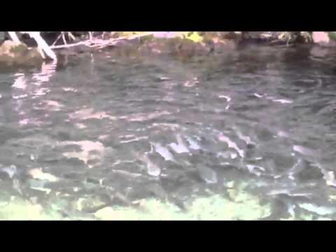 Pink salmon school hope alaska youtube for Alaska fish counts