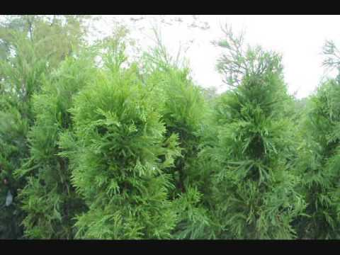 Fast Growing Evergreens for Screening - YouTube