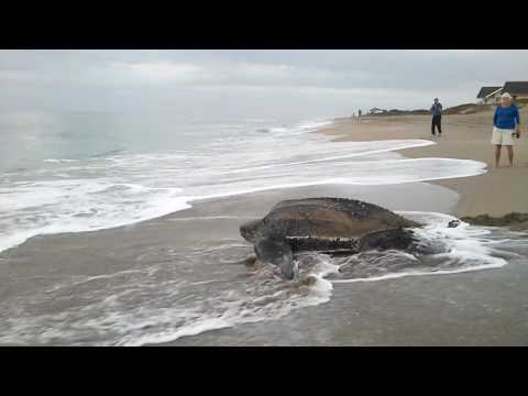 Sea Turtle going back to ocean Stuart FL Jan 2015