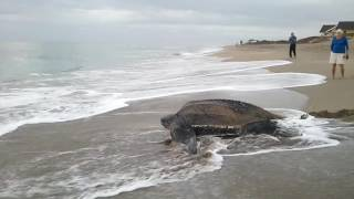 Sea Turtle going back to ocean Stuart FL Jan 2015