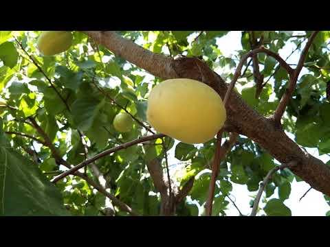 армянский абрикос  #абрикос