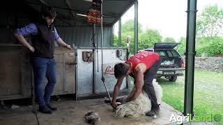 How to shear sheep