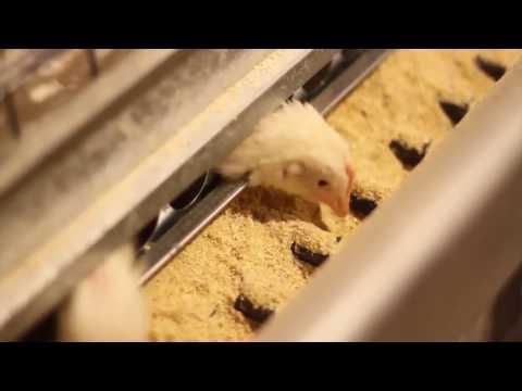 Big Dutchman: Univent Starter baterai sabuk kotoran untuk kandang anak ayam