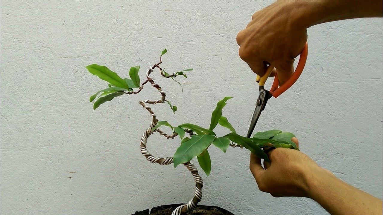 Tạo dáng định hình cho cây mai vàng bonsai mini bàn trà p2…