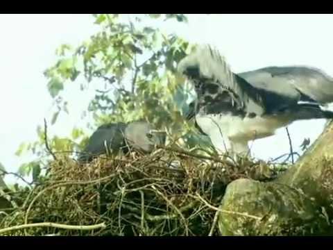 Globo Repórter: Gavião Real, a mais poderosa ave de rapina do mundo!