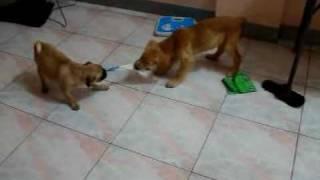 Pug Vs Golden Retriever