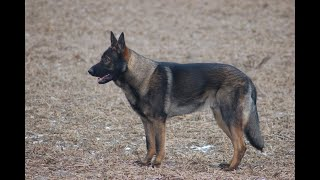 Protection Dogs Ccpd - German Shepherd Stud Dog Sting