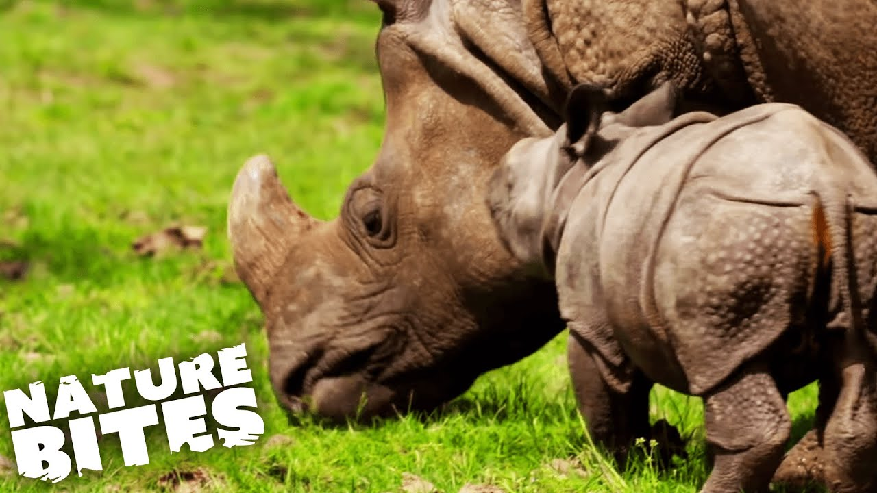 Download Mother Rhino Protects her New Baby | The Secret Life of the Zoo | Nature Bites