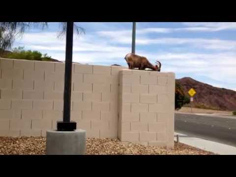 Big Horn in Boulder City NV up the fence and on the street by Big Horn Park. July 19, 2014 earlynoon