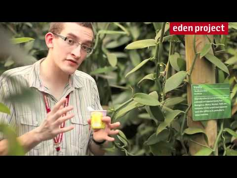 Vanilla facts from the Eden Project's Rainforest Biome