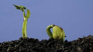 Underground bean germination and growing time lapse over 4 weeks
